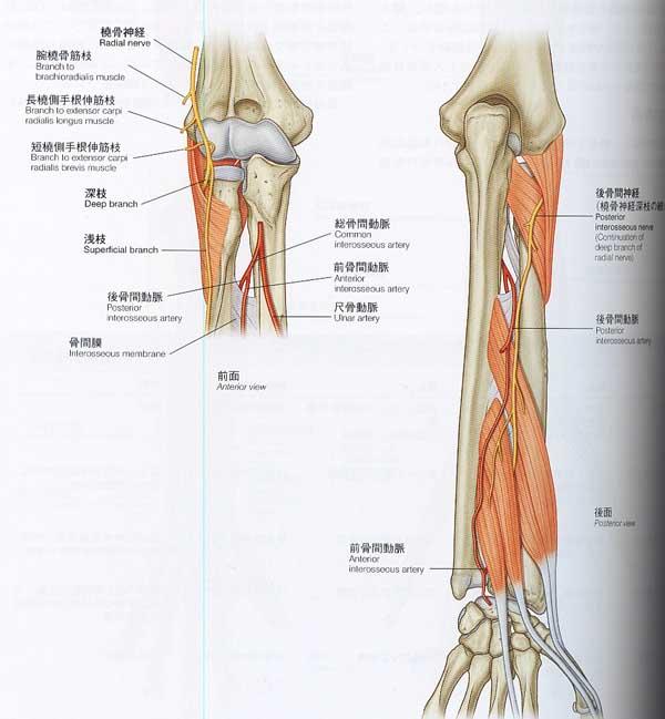 走行 橈骨 神経 橈骨神経に支配される筋肉