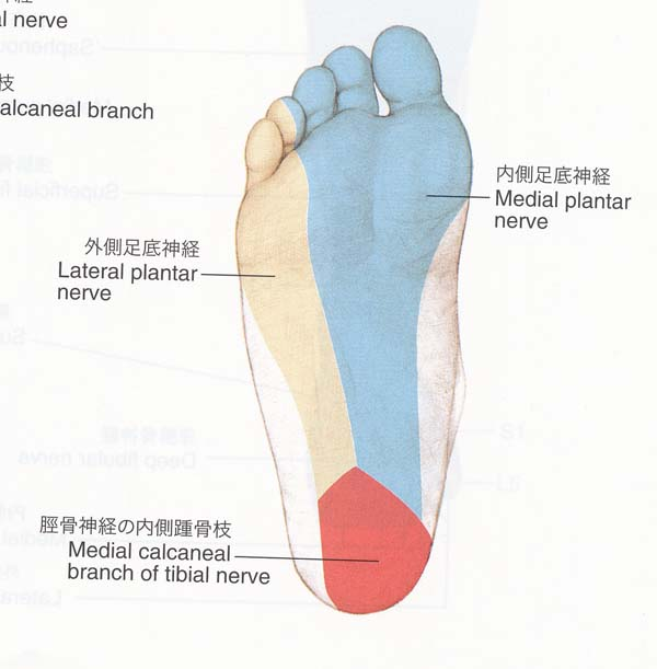 麻痺 脛骨 神経